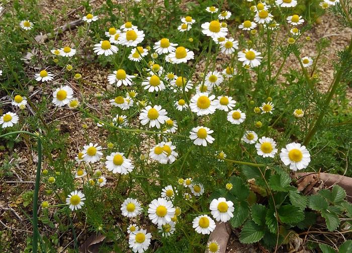 おすすめポイントと特徴  ジャーマンカモミールは一年草、ローマンカモミールは多年草です。3~5月頃に花が咲きます。  リンゴに似た甘く優しい香りが気分を落ち着かせてくれます。香りはジャーマン種とローマン種でそれぞれでやや異なり、ジャーマン種は花のみ、ローマン種は葉や茎も利用します。お菓子の飾りやティー、ハーブバスなどに使えます。  いずれもこぼれ種で増えるほど生育が旺盛で、特にローマン種は踏まれても育つとして芝生がわりに利用されていたほどです。  育て方のコツ  カモミールは日なたと水はけのよい用土を好みます。ローマン種は横に広がって育ちます。夏の熱さで枯れ込むことがあるので、花後は収穫をかねて短く刈り揃えます。再び緑の新芽が伸びて美しく整います。