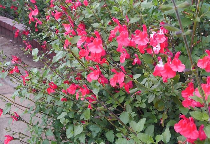 おすすめポイントと特徴  チェリーセージは葉をこするとさくらんぼのようなフルーツ系の香りがします。とても丈夫で地植えにするとぐんぐん育ちます。6~10月に花が咲きます。  切り花として部屋に飾ると香りを楽しめます。ハーブティーやポプリ、押し花としても使えます。  育て方のコツ  チェリーセージは日なたと水はけのよい用土を好みます。春に切り戻しして草姿を整えましょう。挿し木でふやすこともできます。