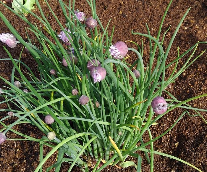 おすすめポイントと特徴  チャイブは日本のアサツキの仲間です。春から夏にはポンポンのような薄紫色の花を咲かせ、ガーデンをやさしく彩ります。  葉が繊細で香りがマイルドなので、生ネギが苦手な方でも味わいやすく、様々な料理に向いています。  育て方のコツ  チャイブは日なたと水はけのよい用土を好みます。乾燥や寒さに強く丈夫です。2~3年ごとに掘り上げて株分けでふやします。
