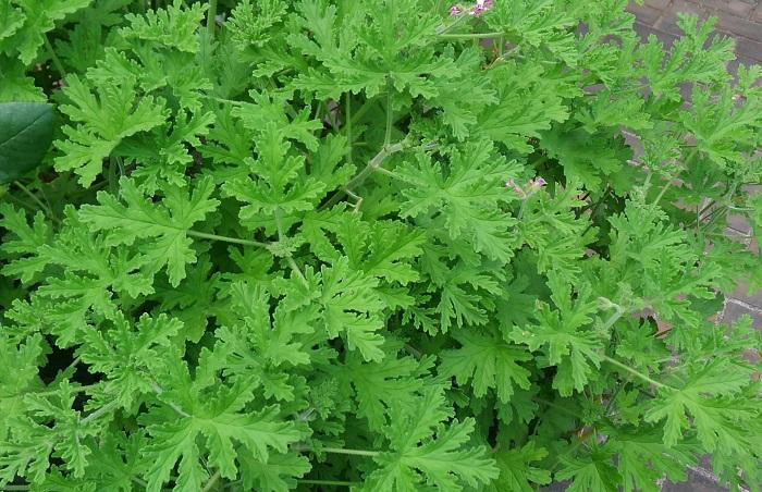 おすすめポイントと特徴  ローズゼラニウムは香りが香水の様なバラの香りで、アロマオイルの他、お茶や料理などの香りづけ、クラフトなど多岐にわたって利用されていまます。切り花の葉もの素材としても通年出回るようになりました。初夏にピンクのかわいい花が咲きます。  香りのあるゼラニウムは、「センテッド・ゼラニウム」と呼ばれますが、センテッド・ゼラニウムには、バラの香り以外にも、フルーツやスパイス、ミントやアーモンドような香りがするものがあります。  育て方のコツ  ローズゼラニウムは日当たりと風通しがよく、水はけのよい場所を好みます。春からは旺盛に生長します。伸びすぎた枝を切り戻しながら育てましょう。高温多湿に弱いので乾燥気味に管理します。暖地では霜にあたらなければ越冬可能です。挿し木でふやせます。