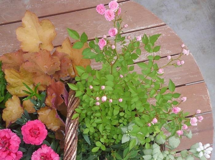 植え替え後にしっかり根を張り、5月に入ると姫バラも咲き始めました。