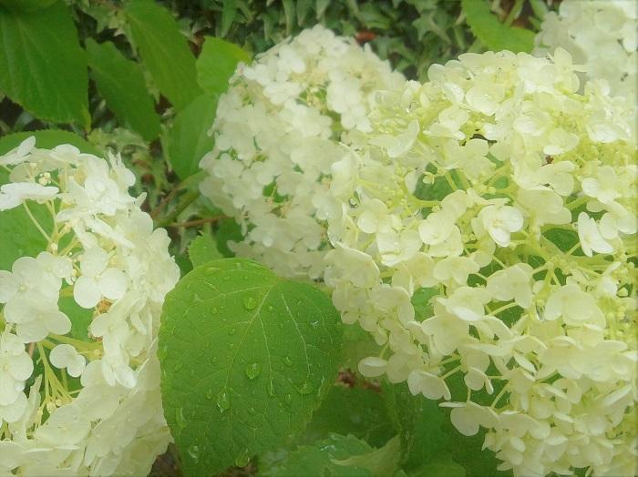 アナベルというアジサイをご存知ですか。初夏から夏の間、秋になって枯れ姿になるまで、姿を変えながらお庭に優しい雰囲気を出してくれる魅力的なお花です。 アナベルの何がそんなに魅力的なのか、姿を変えるってどういうことなのか、アナベルの魅力についてお話します。