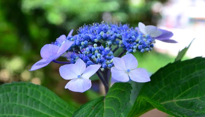6月の花|ガクアジサイ
