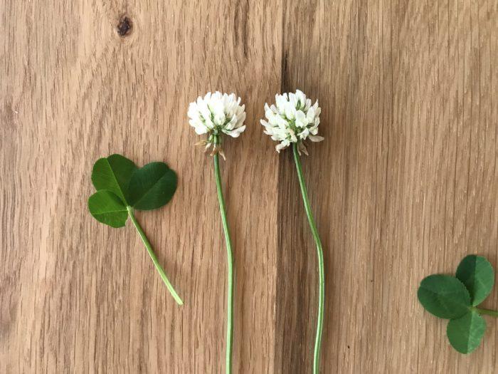 ■和名 シロツメクサ  ■学名 Trifolium repens  ■英名 クローバー  ■マメ科シャジクソウ目  ■多年草 宿根草    白詰草(シロツメクサ)の和名は1846年オランダからのガラスの詰め物として入って来た事から白い詰め物となった草という事で白詰草の名がつきました。  箱を開けたらシロツメクサがたくさん詰まっているなんて、素敵な景色ですね。  ヨーロッパ原産のこの植物はクローバーの名で親しまれ、3枚に分かれる葉の様子をキリスト教では、聖霊と父と子の三位一体の説明を布教する際に使われたと言われています。  アイルランドでは国の花として愛されているシロツメクサです。  開花は初夏5月~8月、草丈5㎝~15㎝程の植物です。  踏まれる事にも強く、しなやかな茎や葉をしています。  花言葉は「幸運」「私を想って」「約束」ふんわり優しい気持ちになる花言葉ですね。