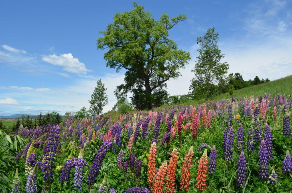 上野ファーム6月中旬のルピナス咲く射的山s