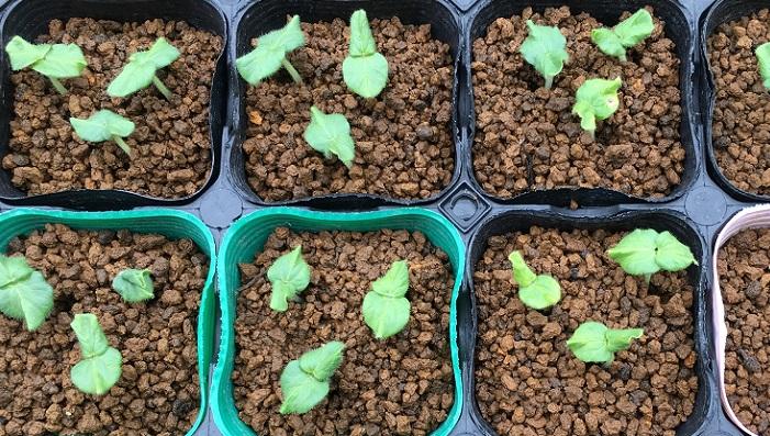 種まきから9日後、発芽したオクラ  発芽したオクラの小さな可愛い双葉です。本葉3~4枚になるまで育苗ポットで育てていきましょう。