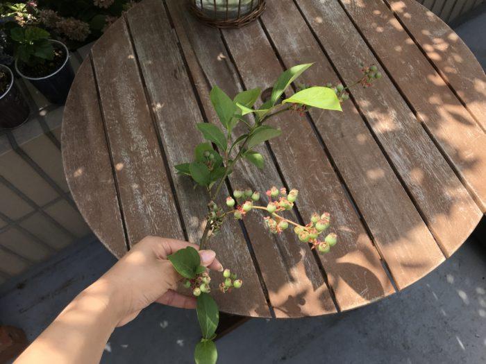 ブルーベリーの枝  この季節のブルーベリーは爽やかなグリーンと透明感あるピンクがかった赤色の実が印象的です。  初夏の爽やかさや涼し気な様子を演出する枝モノを取り入れてみましょう。