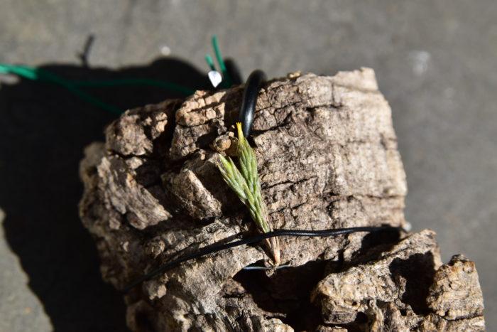 非常に小さなエアプランツで、トリコレピスに似ていますが、ブリオイデスは開花時に花茎が伸びないため区別することができます。 枯らすよりも風などで落として失くすことがままあるため、管理には注意が必要です。