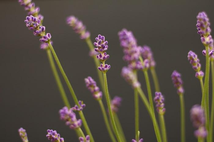 おすすめポイントと特徴  ラベンダーの涼やかでやさいいフローラル調の香り成分は全草に含まれますが、つぼみに特に多く含まれます。  料理やティーには、コモンラベンダーを主に利用します。摘みたての花や葉は花束アレンジに。風通しの良い場所に逆さに吊り下げておくと簡単にドライになります。  非常に種類が多く、香りを楽しむのに向くもの、丈夫で花壇の観賞に向くものなど様々です。耐寒性や耐暑性も異なるので、環境や目的に合った品種を選ぶことが大切です。  育て方のコツ  ラベンダーは日なたと水はけのよい用土を好みます。水や肥料のやりすぎに注意し、花後は早めに花茎を切り、込み入った部分をすいて風通しをよくしましょう。挿し木でふやせます。