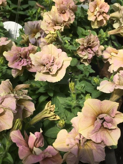 最近ではシックな色や八重咲き、小輪種・・・など、ますますバリエーションが豊富です。