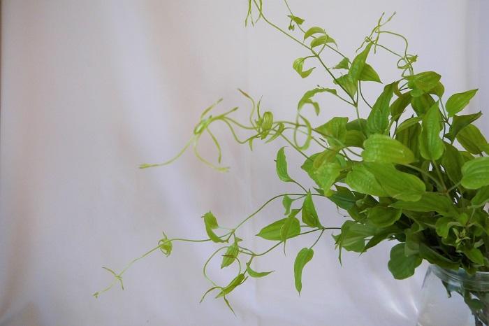 学名:Stemona japonica  科名:ビャクブ科  分類:多年草  瑞々しい明るいグリーンの葉や茎が印象的なツル植物です。ツル植物ですが暴れるようなこともなく、すーっと伸びた茎の先をくねくねとくねらせます。全体のイメージを明るくしたいとき、先端のツルで動きを出したいとき、軽さを出したいときにおすすめのグリーンです。和にも洋にも使えるのも魅力です。 花束やアレンジメントで使用するなら、他のグリーンやお花に巻き付けたりして少し違う動きをさせるのもおすすめです。