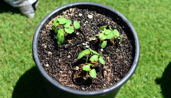 もう一つ試していただきたいのは、育苗ポットごと植え付けるという普段ではあまりしない方法です。  この方法を昨年試してみたのですが、主根がとても太くなりオクラの苗自体も大きく丈夫に生長しましたので、今回も試してみたいと思います。