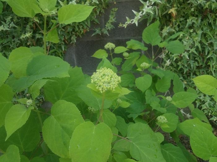 アナベルは、咲き始めは小さなグリーンから始まります。周りの葉よりも小さくて明るいグリーンです。まだまん丸にもなっていません。若くて明るくて柔らかそうなグリーンの丸に近い塊です。