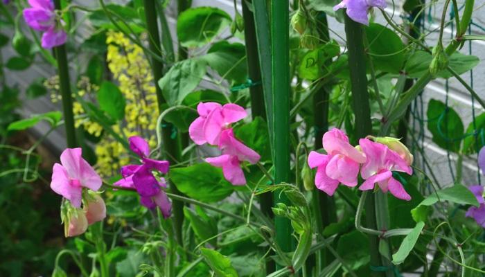 スイートピーの育て方!種まき、植え付け、摘芯などたくさんの花を ...