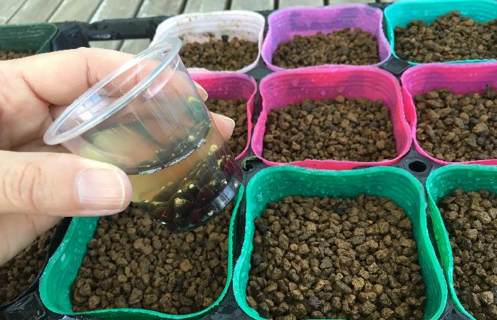 今回は1日オクラの種を水につけて発芽率を上げたものを種まきに使用します。