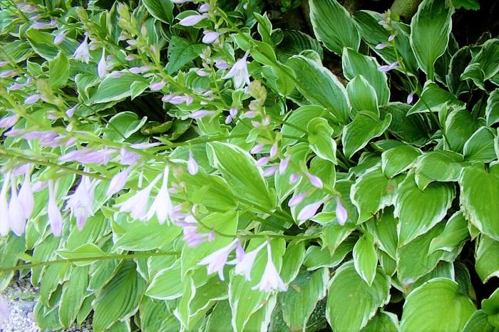 ギボウシ 科名:ユリ科  学名:Hosta  分類:多年草  特徴:品種が多く、葉色が青味を帯びたグリーンから、グリーン単色、白斑入り、黄斑入りなど、バリエーションが豊富です。葉の大きさも様々で、庭の中で印象的な存在感を放ちます。  育て方:長く直射日光があたる場所に置いておくと葉焼けを起こします。日陰から半日陰の少し湿った場所が大好きです。放射状に広がる大きな葉は安定感があり、庭の中でオーナメンタルプランツとして存在感を発揮します。