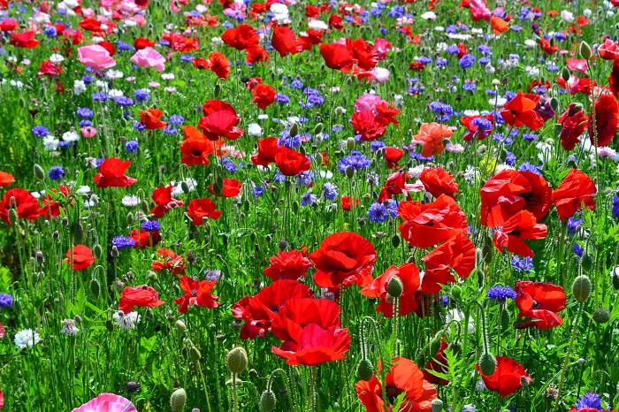 シャーレーポピーとヤグルマギクの花畑