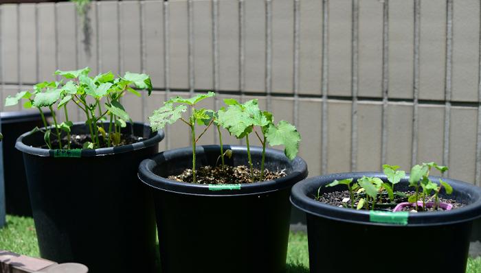 左:育苗ポットごと 中央:プランター種まき 右:胚軸切り(断根)  この角度から見ると一目瞭然ですね。やはり、驚きの植え付け方である「育苗ポットごと植え付け」が一番生育が早く、良く育っています!