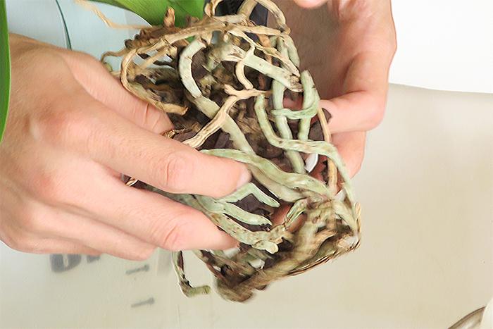 古くなった植え込み材を優しく取り除きます。水苔の時は少し湿っていた方がほぐしやすいです。