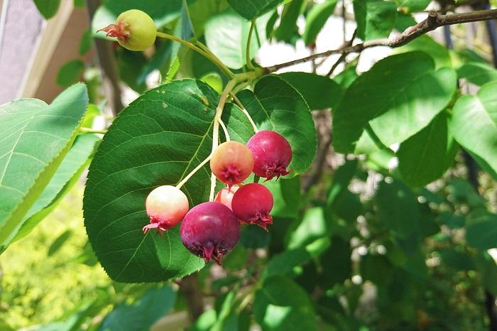 学名:Amelanchier  科名:バラ科  和名:セイヨウザイフリボク  分類:落葉小高木  春、桜が咲き始めるよりも少しだけ早く、ジューンベリーの花は咲き始めます。白い小さな花をふわりと枝いっぱいに咲かせます。葉が出てくるのはその後。お花が終わってから、丸い形の柔らかい葉を茂らせていきます。  名前の通り、6月頃にきれいな赤黒い果実をたわわに実らせます。小さな丸い果実が赤く色づき始め、それから黒に近い赤に変わっていきます。そのまま摘んで食べてもおいしい実ですし、ジャムや果実酒にする楽しみ方もあります。