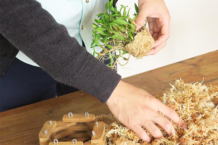 違う種類のランも同様にバスケットに植えれます。根の間に水苔のダンゴを入れます。