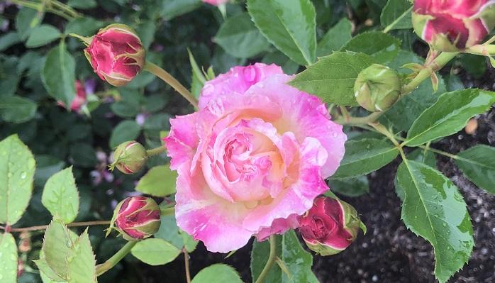クロード・モネ  絵画のイメージみたいな花びらに絞りがはいっているバラ。蕾も丸みがあり、ロゼット咲きのとても可愛らしいバラです。