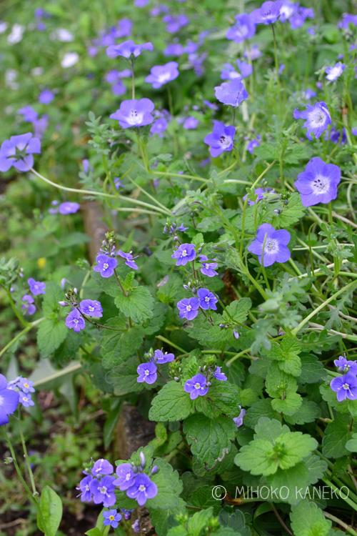 ベロニカ・オックスフォードブルーは、ゴマノハグサ科の宿根草です。ベロニカと聞くと、立性で穂状の花を思い浮かべる方も多いかもしれませんが、ベロニカ・オックスフォードブルーは這性で地面を這うように生長するので、グランドカバーや花壇の前側に植えるとよい植物です。ベロニカ・オックスフォードブルーは花丈10センチくらいで、東京だと4月の終わりごろから5月に青い小さな花が無数に咲きます。