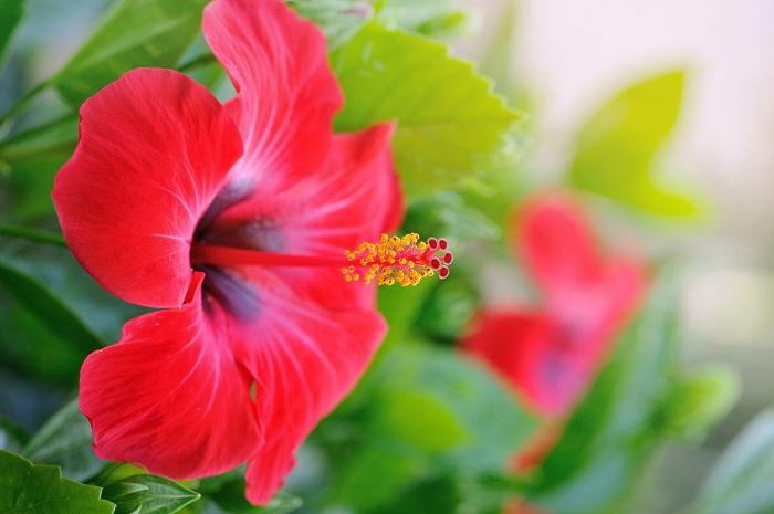 ハイビスカスは、世界の熱帯~亜熱帯地方で栽培されています。日本では鉢植えで楽しむのが一般的ですが、暖かい地域では、庭木としても利用されてます。花の開花期間も長く、赤・ピンク・黄色・白などカラーバリエーションも豊富で、花の大きさも小さいものから大きいものまであり、その品種数は数えきれないほどです。ハイビスカスの花は、朝開いて夜に閉じて1日で終わる1日花ですが、最近は品種改良で1つの花が2~3日咲くハイビスカスも登場しています。