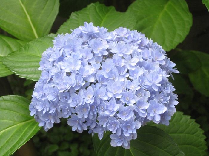 挿し木から1年後は、小さめの花が3つほど咲きました。2年後は立派な花が次々と咲きました。鉢でしっかりした株に育てたら、3年後は地植えにして庭木として楽しむこともできます。
