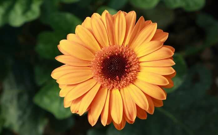 オレンジのガーベラの花言葉は「神秘」「冒険心」。