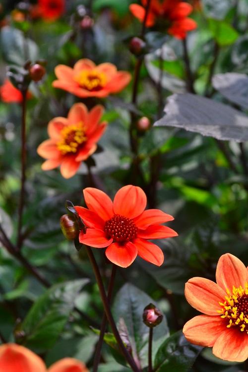 ダリアは咲き方、色、花のサイズがとても豊富で品種がたくさんある夏に咲く球根の花です。最近では種から育てるタイプの種も登場しています。初夏に開花した後、切り戻しておくと秋に再び美しく返り咲きます。