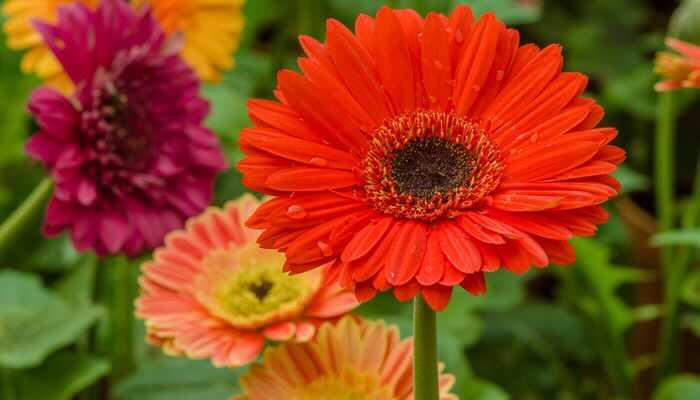 赤のガーベラの花言葉は「神秘」「燃える神秘の愛」。