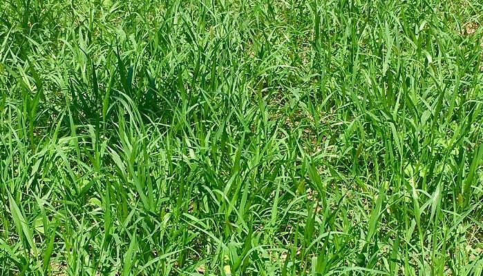 こちらは春に家を建て壊して空地になったスペース。初夏になったとたん、一気に様々な草が生えてきてあっという間に緑色に!夏の植物の生長のエネルギーはものすごいですね。真夏には、人が入れないほどの背丈になることでしょう。  上の写真のように、土がむき出しで放っておくと、ひと夏を超えるとびっくりするほど雑草が生えてきます。人の通り抜けない土地なら、そのままでもよいかもしれませんが、通り抜けをするような場所ならば、なんらかの手は打たないとなりません。そんな時に取り入れたいのがグランドカバーです。