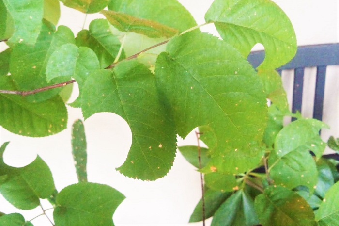花も実も可愛いジューンベリーの木。果実が終わって葉っぱだけになっても可愛らしい、庭木として大人気の果木です。  そんな可愛いジューンベリーの葉っぱがある日無惨(むざん)にも穴だらけになっていたら、びっくりしますよね。友人宅のジューンベリーの木に実際に起こった不思議な出来事をご紹介します。
