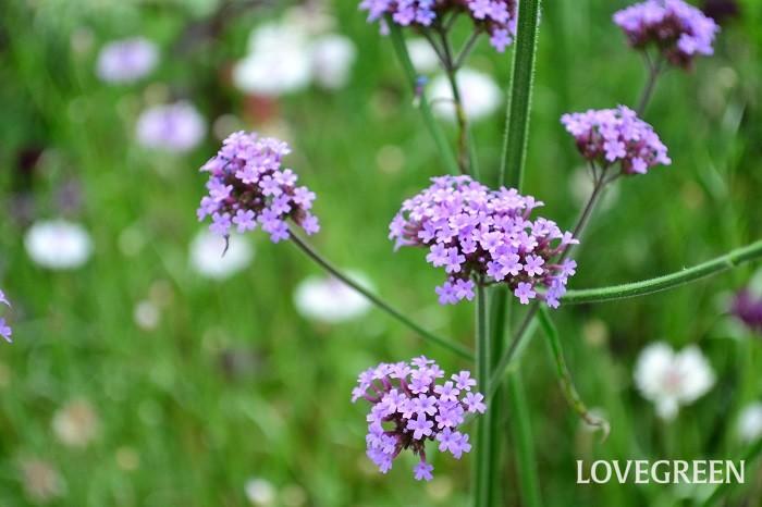 初夏から秋まで長く咲く花 バーベナ