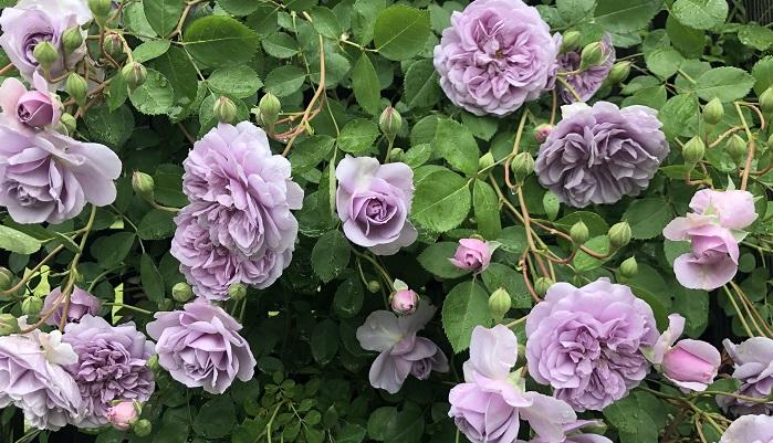 レイクガーデンのバラは自然樹形が美しい  関東にあるバラ園のトップシーズンは5月中旬から下旬ですが、軽井沢という立地上、レイクガーデンでは6月から7月にかけてがバラのトップシーズンです。  レイクガーデンにはバラのガーデンが3つあります。