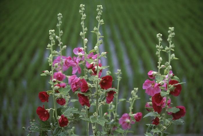 タチアオイ(立葵)は、茎の下の方の蕾から順番に咲いていきます。咲き始めは梅雨のはじまり頃で、てっぺんの花が咲くと梅雨が明けると言われています。