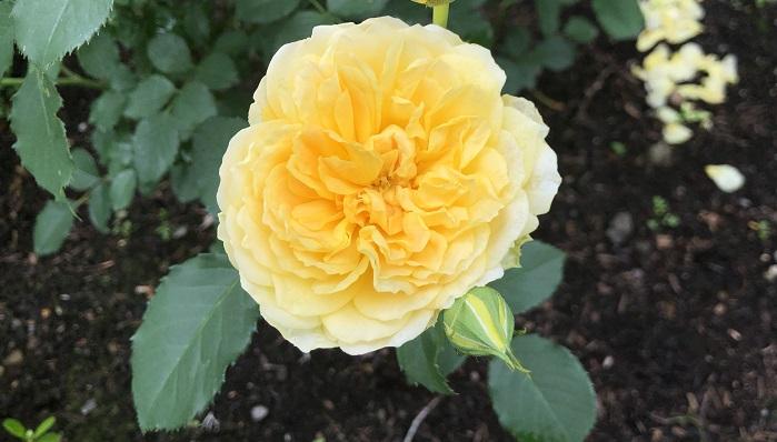 モリニュー  イングリッシュローズです。黄色の花びらがたくさんあってフリルみたいで可愛らしいです。