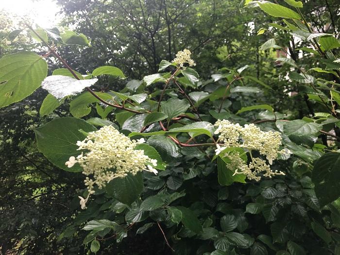 こちらは長野に住むLOVEGREEN編集部の小野寺の庭のノリウツギ。近隣ではあちこちで自生しているノリウツギを見かけるのだとか。園芸種に比べて素朴な雰囲気ですね。