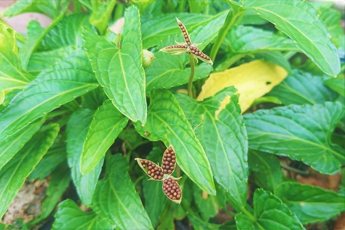 さらにスミレ(菫)はその種を出来るだけ遠くに運ぶための工夫にも余念がありません。スミレ(菫)の種は熟すとさやが弾け、中の種子が遠くに飛ぶように出来ています。スミレ(菫)が群生するように固まって咲いているのはこの仕組みのせいだったんですね。  さらにスミレ(菫)の種子は糖質コーティングされています。これを甘いものが大好きな蟻が運んでいくという仕組みです。蟻は周りの甘いところをなめ終わると、その辺に種を捨ててしまうので、その場で発芽します。  あの小さく可憐なスミレ(菫)のお花にはこんな逞しく生き延びる知恵があったんですね。