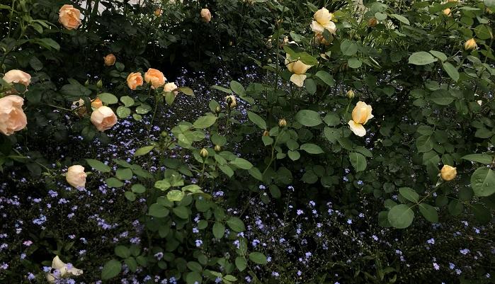 バラは株元がすっきりしてしまいがちですが、グランドカバーとして勿忘草を配しています。まるで星空のようにきれいな勿忘草の青みのある紫に、バラがきれいに咲いていました。