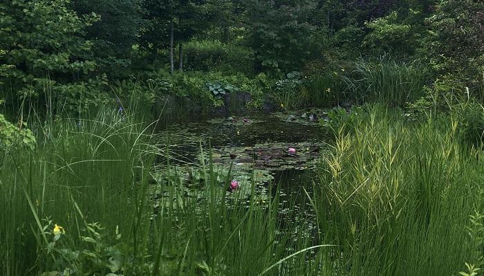 睡蓮の池が背の高いグラス類に囲まれていて、間からのぞき込むように睡蓮の池を眺めることができます。