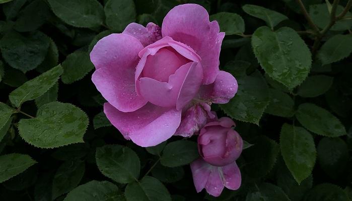 メアリー・ローズ  イングリッシュローズの代表品種です。咲き始めはカップ咲き、開花が進むとロゼット咲きに変化していきます。