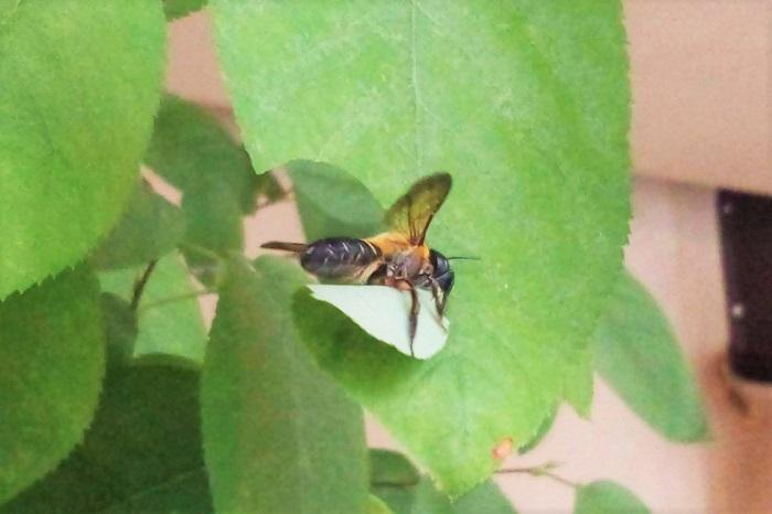 ハキリバチの仲間は食用にするために葉を切り取っているわけではありません。この切り取った葉を俵型に丸めて巣を作るそうです。巣はホースや竹筒など、チューブ状になっているものの中に作られます。チューブの形に合わせて葉を丸めて入れて、その葉の中に花粉や蜜と一緒に卵を産み付けます。