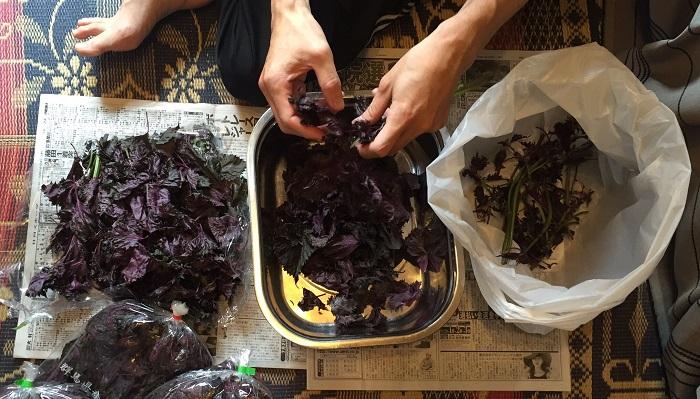 袋入りの赤シソを茎からはずして葉だけにします。