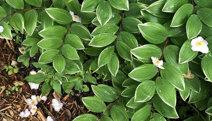 ナルコユリと沙羅大きな沙羅の木の下にはナルコユリがたくさん。ナルコユリは山野草で花の時期はすでに終わり。ですが、花のない時期でも茎の赤さと白い縁取りのある葉が絵のような植物です。沙羅の花が葉の上にのっているのがとても美しかったです。  沙羅の花が少しピンクがかったものもありましたが、あとでガーデナーの方に聞いたところ、軽井沢は気温が低くなるので、全体的に花が赤みを帯びるのだそうです。