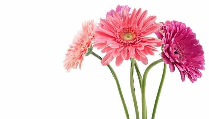 ピンクのガーベラの花言葉は「感謝」「崇高美」。