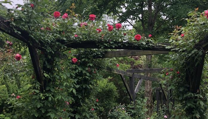 パーゴラの下を通ると薔薇の良い香りがふわりとしてきて歩いているとうっとりしてしまいます。