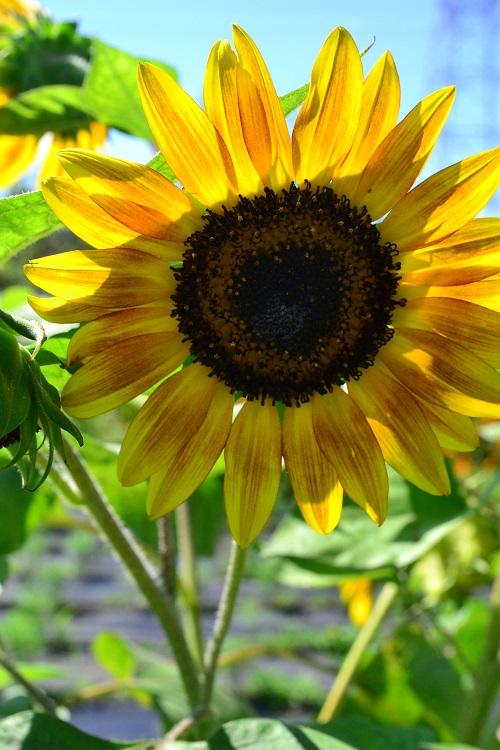 夏の花の代表と言えば、ひまわり。元気で明るい雰囲気の夏の一年草です。もともとは背丈の高い草花でしたが、最近は矮性種や分枝性がある性質など色々と種類が豊富になってきました。花の色も黄色をはじめ、写真のように黄色でもちょっとシックな雰囲気のあるもの、レッド系、ブラウン系など、深みのある大人っぽい雰囲気のひまわりもあります。夏の強い日差しの中で咲く花だけに、ひまわりは青空が似合う花ですね。