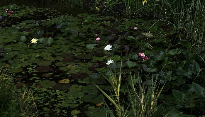 睡蓮が開花していました。絵画のような光景です。  ウッドランドとフレンチローズガーデンの間に睡蓮の池があります。